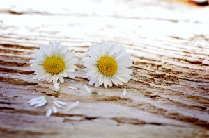 daisy-747320_640